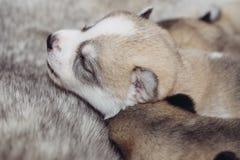 Nowonarodzonych szczeniaków Syberyjski husky Obrazy Stock