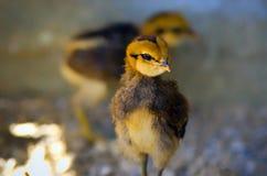 noworodek kurczaka Obraz Royalty Free