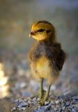 noworodek kurczaka Zdjęcie Stock