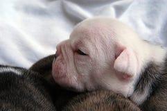noworodek z byka psi szczeniak Zdjęcia Royalty Free