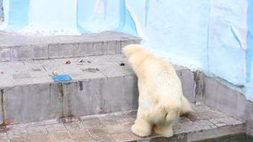 NOWOSIBIRSK, RUSSLAND - Mai 1,2016: der Eisbär am Zoo stock video