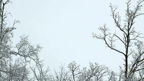Nowy świeży śnieg na gałąź drzewa w zimy scenie zbiory wideo