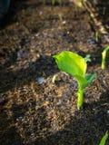 Nowy Bananowy liść Zdjęcie Stock
