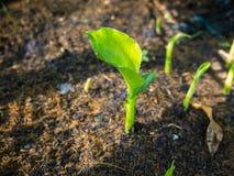 Nowy Bananowy liść Zdjęcia Stock