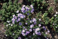 Nowy Jork aster w kwiacie w jesieni Obrazy Stock