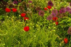 Nowy Jork ogród, Czerwony maczek Obrazy Royalty Free
