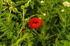 Nowy Jork ogród, Czerwony maczek Fotografia Stock