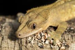 Nowy Kaledoński czubaty gekon na gałąź Obrazy Stock