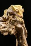 Nowy Kaledoński Czubaty gekon Zdjęcia Royalty Free