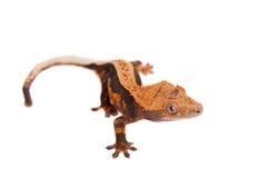 Nowy Kaledoński czubaty gekon na bielu Obraz Stock