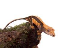 Nowy Kaledoński czubaty gekon na bielu Zdjęcia Stock