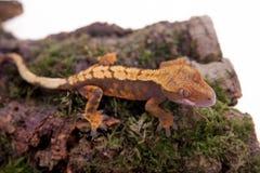 Nowy Kaledoński czubaty gekon na bielu Zdjęcie Stock
