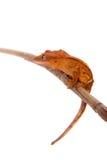 Nowy Kaledoński czubaty gekon na bielu Zdjęcia Royalty Free