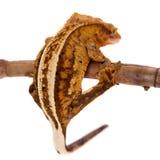 Nowy Kaledoński czubaty gekon na bielu Obrazy Royalty Free