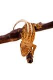 Nowy Kaledoński czubaty gekon na bielu Fotografia Stock