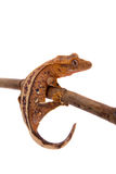 Nowy Kaledoński czubaty gekon na bielu Obrazy Stock