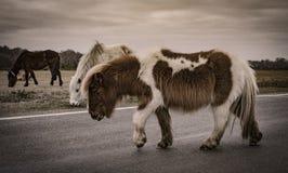 Nowy las, konik i koń, Zdjęcia Stock