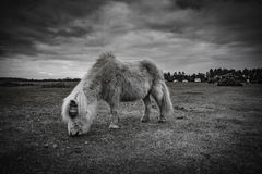 Nowy las, konik i koń, Fotografia Royalty Free