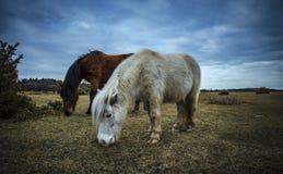 Nowy las, konik i koń, zdjęcia royalty free