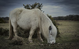 Nowy las, konik i koń, Obraz Stock