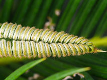 Nowy liść agawy roślina Zdjęcie Stock