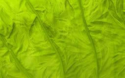Nowy liść taro Fotografia Stock
