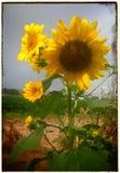 Nowy - Mexico słonecznik Zdjęcie Royalty Free