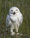 Nowy Owl Canadian Raptor Conservancy Port Huron Ontário Canadá imagens de stock royalty free