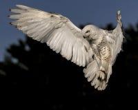 Nowy Owl Canadian Raptor Conservancy Port Huron Ontário Canadá fotografia de stock royalty free
