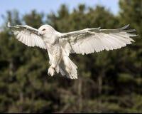 Nowy Owl Canadian Raptor Conservancy Port Huron Ontário Canadá imagens de stock