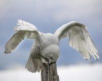 Nowy Owl Canadian Raptor Conservancy Port Huron Ontário Canadá foto de stock royalty free