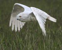 Nowy Owl Canadian Raptor Conservancy Port Huron Ontário Canadá foto de stock