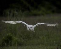 Nowy Owl Canadian Raptor Conservancy Port Huron Ontário Canadá imagem de stock