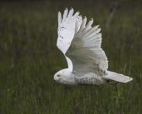 Nowy Owl Canadian Raptor Conservancy Port Huron Ontário Canadá imagem de stock royalty free