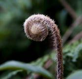 Nowy paprociowy liść w dzikim Fotografia Stock