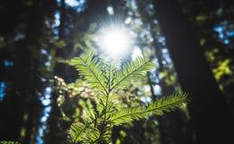 Nowy przyrost w Mongomery drewnach w wiośnie obrazy stock