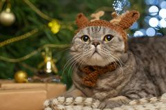 Nowy Rok, Brytyjski Bożenarodzeniowy kot w jelenim kapeluszu, Rudolph na tle choinka i światła fotografia stock