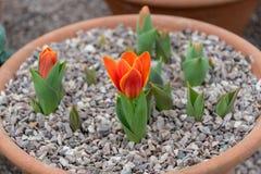Nowy tulipanowy kwiat Fotografia Stock
