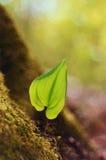 Nowy wzrostowy liść w wiosna lesie Zdjęcie Royalty Free