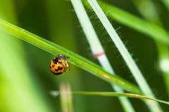 Nowy życie ladybird Obraz Stock