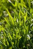 nowy zielony trawy Zdjęcia Royalty Free