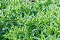 Nowych liści tło Zbliżenie miętówki świezi liście na zielonym tle Kojące własność miętówka Zielona soczysta mennica gr Zdjęcie Royalty Free