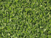 Noxious weed. Water Lettuce, Pistia statiotes plant Royalty Free Stock Photos