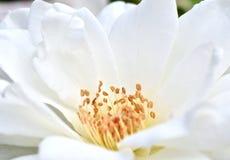 Noyau d'usine de Rose blanche images stock
