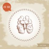 Noyau tiré par la main de noix de style de croquis demi Illustration de vecteur de nourriture d'Eco sur le fond de vintage Photographie stock libre de droits