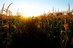 Noyaux d'épi de tiges d'élevage de maïs prêts pour la récolte Images stock