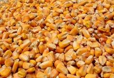 Noyaux de maïs Image libre de droits