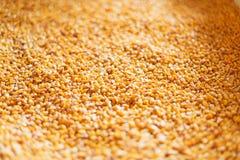 Noyaux de maïs secs Image libre de droits