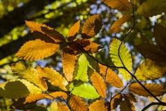 A noz folheia sob o marrom e o verde do sol do outono Imagem de Stock Royalty Free