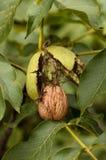Noz madura pronta para cair da árvore Foto de Stock Royalty Free